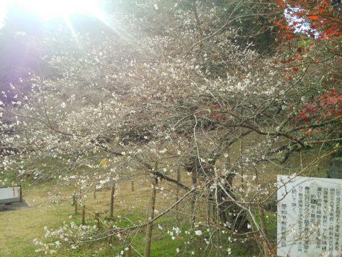 前洞の四季桜