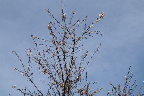 春の四季桜アップ