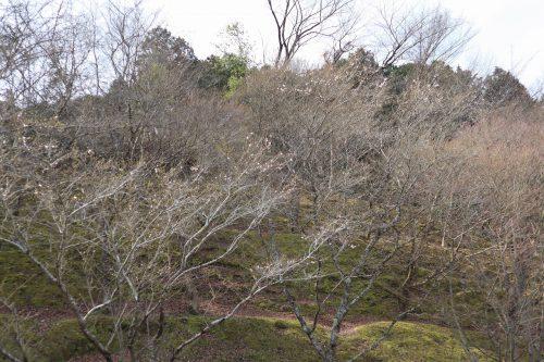 春の四季桜