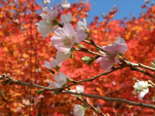 四季桜まつりふれあい公園出店者募集
