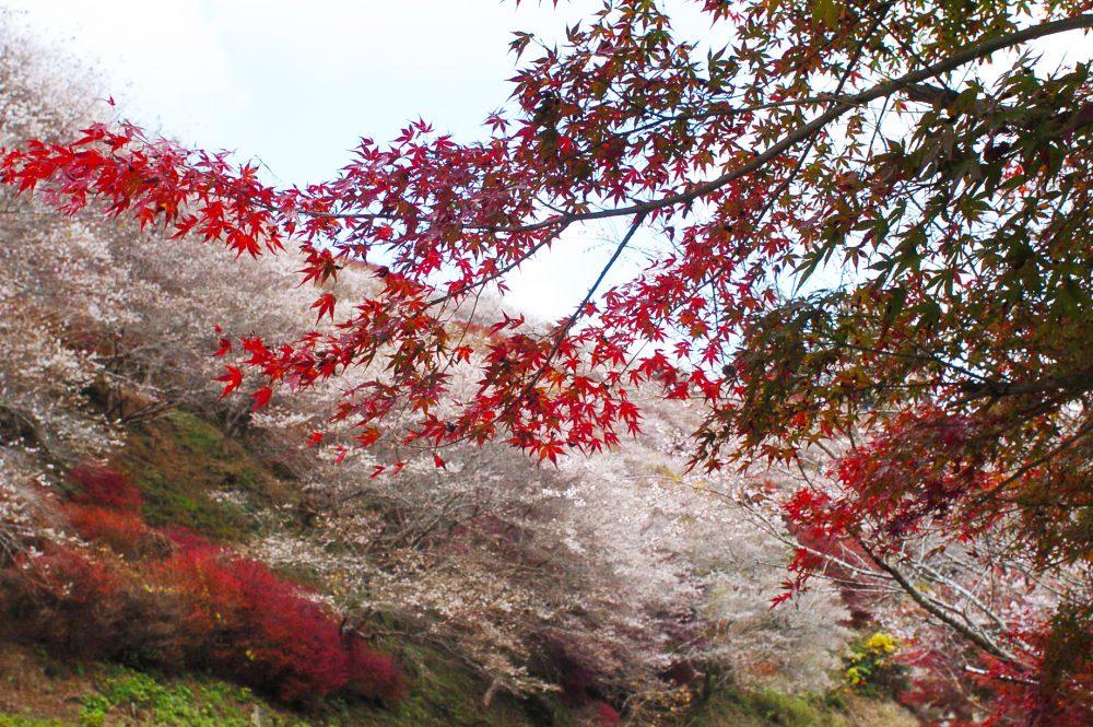 「小原四季桜まつり」は中止となりました。